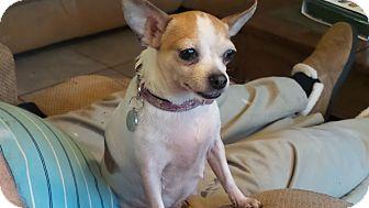Chihuahua Dog for adoption in Newark, Delaware - Dottie