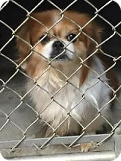Pekingese Dog for adoption in Middletown, New York - Sam
