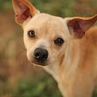 Whippet/Chihuahua Mix Dog for adoption in San Antonio, Texas - TOMMY