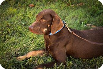 Weimaraner/Labrador Retriever Mix Puppy for adoption in Wichita, Kansas - Sheba