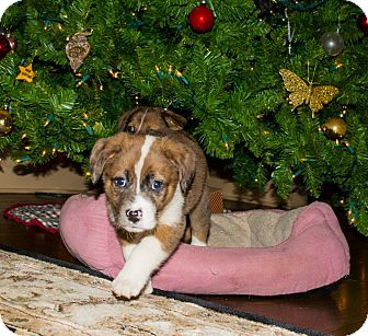 Australian Shepherd Mix Puppy for adoption in Hainesville, Illinois - Wade