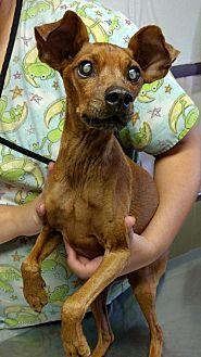 Miniature Pinscher Mix Dog for adoption in Tucson, Arizona - Alfie