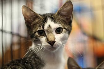 Domestic Shorthair Kitten for adoption in Marietta, Georgia - Blitz