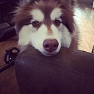 Adopt A Pet :: Oso - ADOPTION PENDING - CONGRATS MARIA & ALAIN!!!