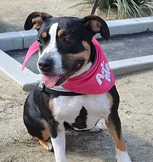 Bulldog Mix Dog for adoption in Sherman Oaks, California - Buttercup