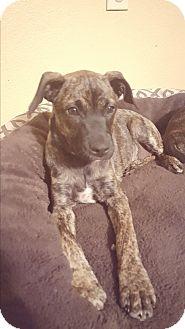 Labrador Retriever Mix Puppy for adoption in Seguin, Texas - Sam