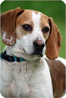 Beagle Mix Dog for adoption in Cincinnati, Ohio - Freckles