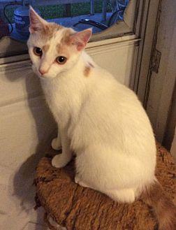 Domestic Shorthair Cat for adoption in Mt Pleasant, Pennsylvania - Spencer