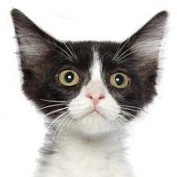 Domestic Shorthair Kitten for adoption in oakland park, Florida - Tinkerbell
