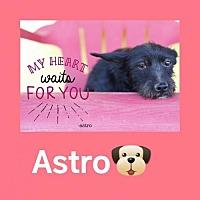 Scottie, Scottish Terrier Mix Dog for adoption in Castaic, California - Astro
