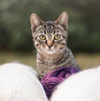Domestic Shorthair/Domestic Shorthair Mix Cat for adoption in Calgary, Alberta - Alex