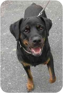 Rottweiler Mix Dog for adoption in West Warwick, Rhode Island - Lisa