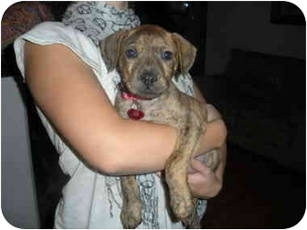 Pit Bull Terrier/Shar Pei Mix Puppy for adoption in Las Vegas, Nevada - Lola