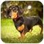 Photo 2 - Dachshund Dog for adoption in Ile-Perrot, Quebec - STELLA
