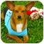 Photo 1 - Chihuahua Mix Dog for adoption in Corpus Christi, Texas - C.B.