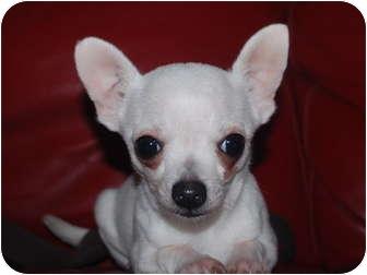 Chihuahua Dog for adoption in Astoria, New York - Baby Bat