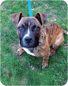 Boxer/American Pit Bull Terrier Mix Puppy for adoption in Worcester, Massachusetts - Minnie