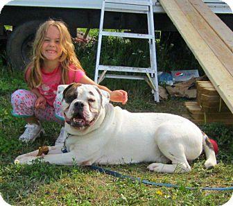 English Bulldog Dog for adoption in Caledon, Ontario - Tyson