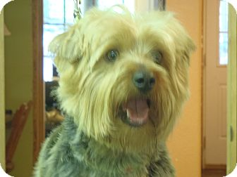 Yorkie, Yorkshire Terrier/Silky Terrier Mix Dog for adoption in Windham, New Hampshire - Bentley