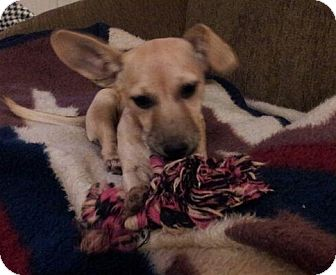 Chihuahua/Dachshund Mix Dog for adoption in Nashville, Tennessee - Adele