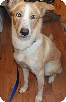 Husky/Terrier (Unknown Type, Medium) Mix Dog for adoption in Huntsville, Alabama - Max