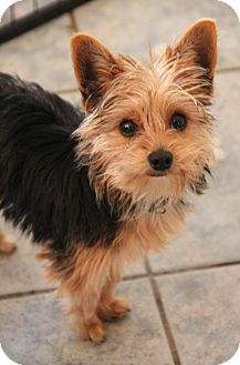 Yorkie, Yorkshire Terrier Mix Dog for adoption in Yuba City, California - Mouse