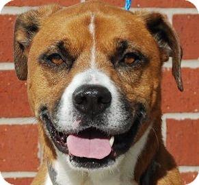 Boxer Mix Dog for adoption in Houston, Texas - Bo