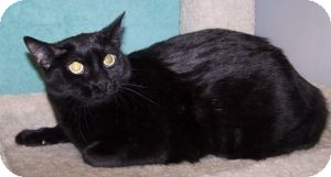 Domestic Shorthair Cat for adoption in Colorado Springs, Colorado - Lori