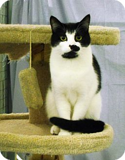 Domestic Shorthair Cat for adoption in Mission, British Columbia - Envy