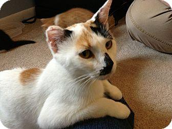 Domestic Shorthair Cat for adoption in Marietta, Georgia - Rachel