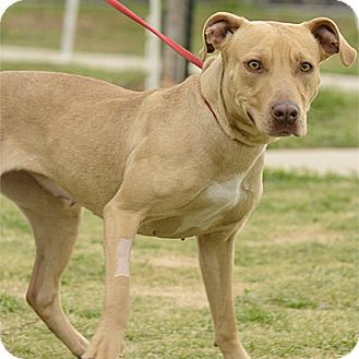 Pit Bull Terrier Mix Dog for adoption in Stillwater, Oklahoma - Lola