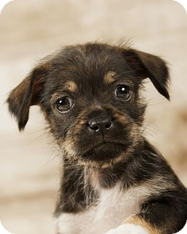 Pug/Maltese Mix Puppy for adoption in Greenville, Virginia - Misty