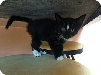 Domestic Shorthair Kitten for adoption in Brooklyn, New York - Coby - Adopted.NOV2014