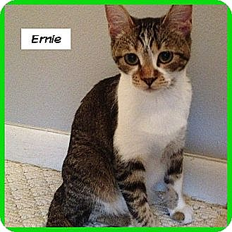 Domestic Shorthair Cat for adoption in Miami, Florida - Ernie