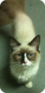Ragdoll Cat for adoption in Westminster, California - Masseuse