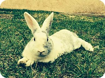 Harlequin Mix for adoption in Los Angeles, California - Marshall