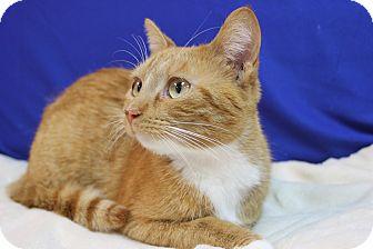 Domestic Shorthair Cat for adoption in Midland, Michigan - Royal