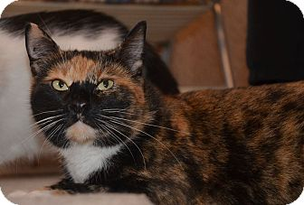 American Shorthair Cat for adoption in Central Falls, Rhode Island - Mamma-T