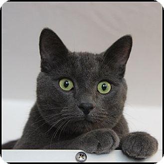 Domestic Shorthair Cat for adoption in Colorado Springs, Colorado - Spud