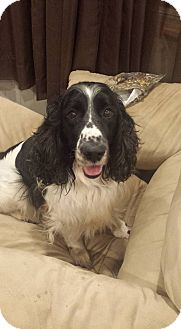 Spaniel (Unknown Type) Mix Dog for adoption in WESTMINSTER, Maryland - Charlie