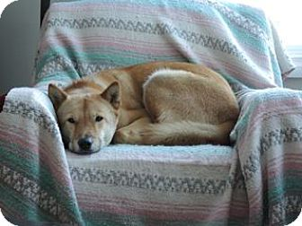 Jindo Dog for adoption in Edmonton, Alberta - Nunu (ADOPTION PENDING)