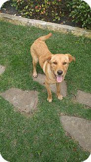 Labrador Retriever Mix Puppy for adoption in New York, New York - Laurel