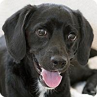 Adopt A Pet :: Bleu - La Costa, CA
