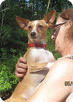 Chihuahua/Miniature Pinscher Mix Dog for adoption in Houston, Texas - Maddie
