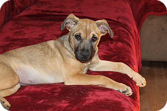 Mountain Cur/Boxer Mix Puppy for adoption in Naperville, Illinois - Juno
