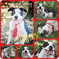 Adopt A Pet :: PETEY - Ft Worth, TX