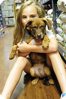 Australian Shepherd/Labrador Retriever Mix Puppy for adoption in Eden Prairie, Minnesota - Norway