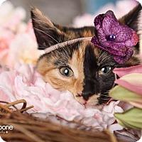 Adopt A Pet :: Sommer - Eagan, MN