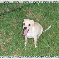 Terrier (Unknown Type, Small)/Jack Russell Terrier Mix Puppy for adoption in Colton, California - Shyla