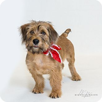 Terrier (Unknown Type, Small) Mix Puppy for adoption in Naperville, Illinois - Lucien